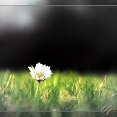 daisy-001-colcen(C).jpg